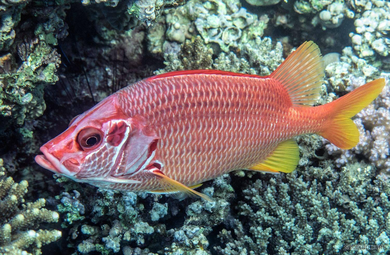 «Рыба-белка» фото и описание