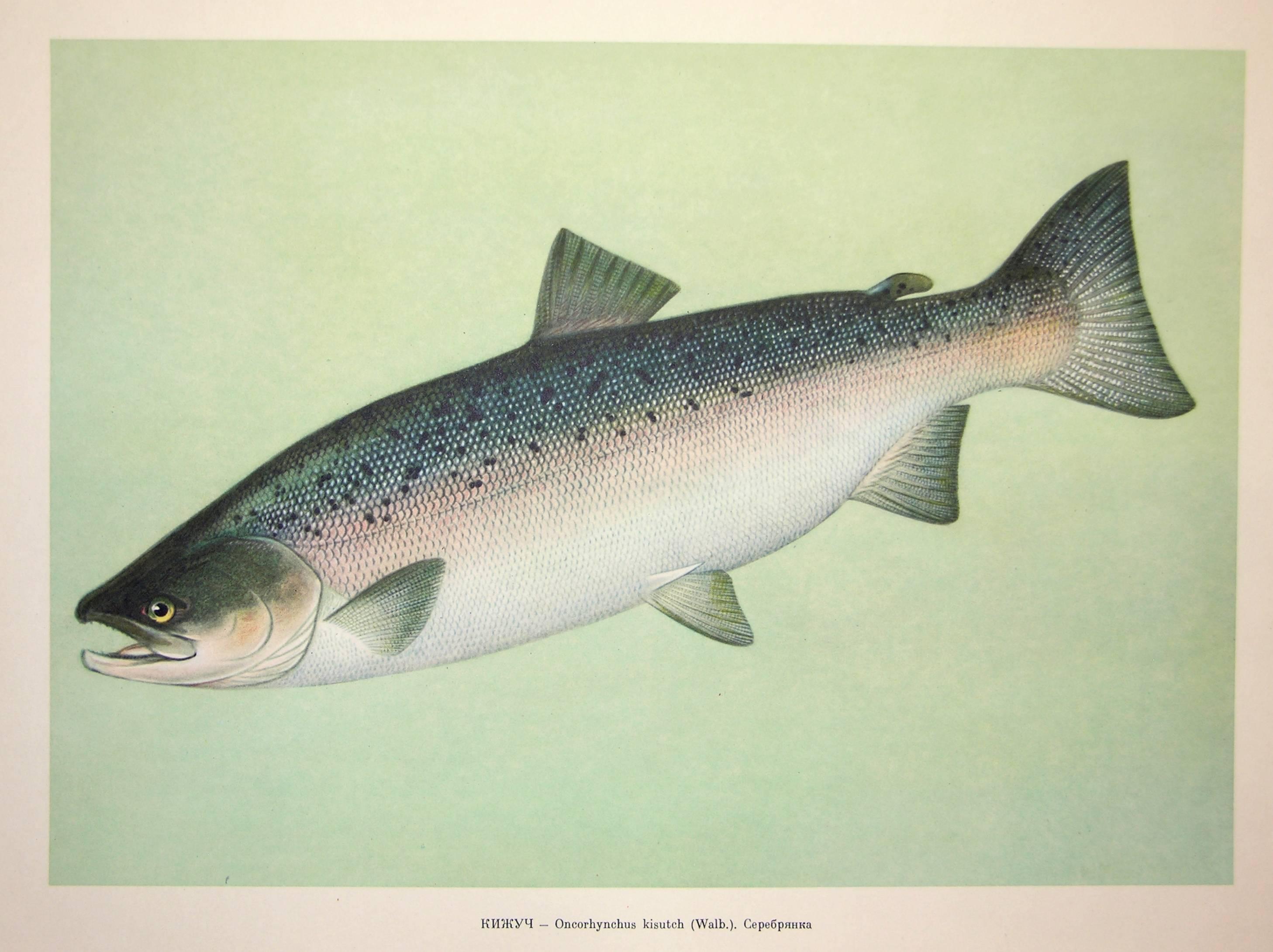 Рыба сима фото и описание   где водится и сколько стоит