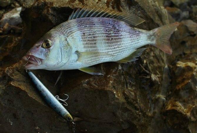 Рыба-камень – фото, описание, ареал, питание, опасность