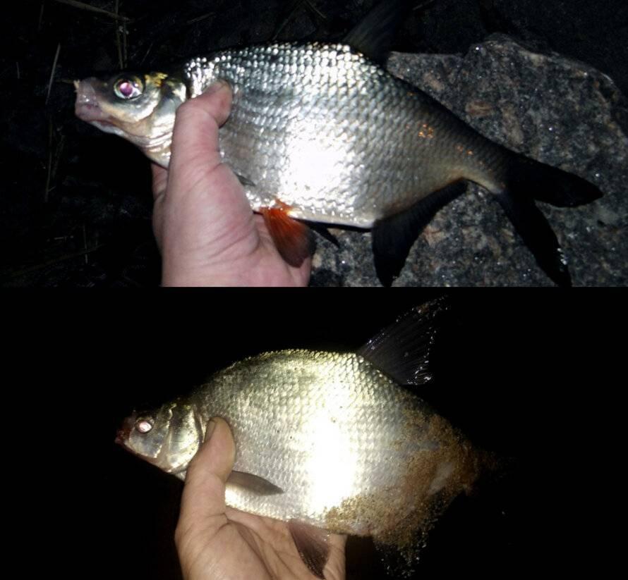 Отличия густеры и подлещика (леща) - фото и видеообзор разницы двух рыб