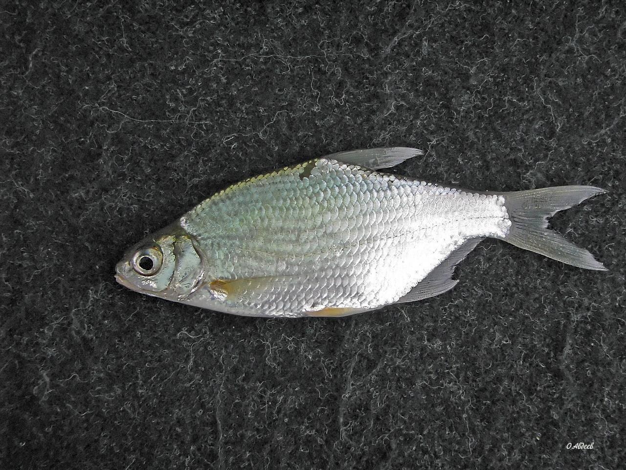 Рыба сопа | клепец, белоглазка из семейства карповых
