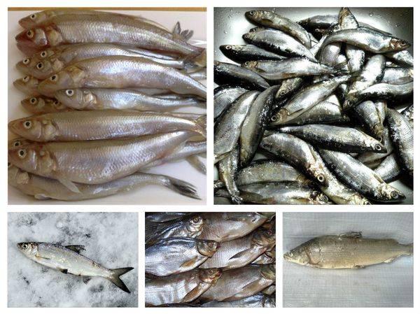 Что за рыба пелядь: рыбалка на сырок, где водится, фото
