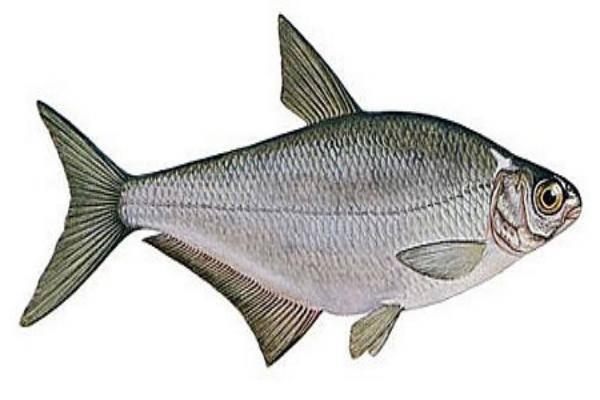 Рыба белоглазка: фото и описание, польза и вред, калорийность