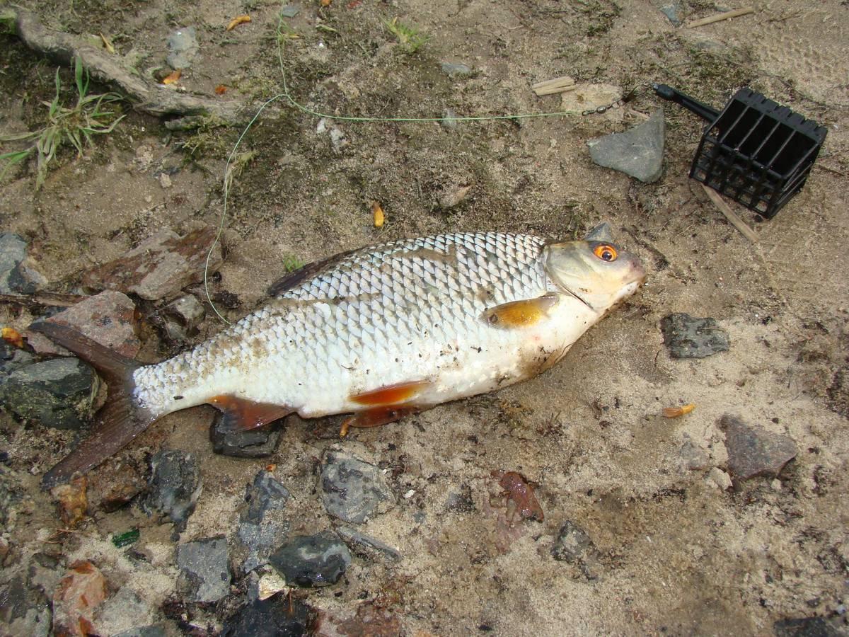 Осенняя ловля плотвы - на рыбалке!