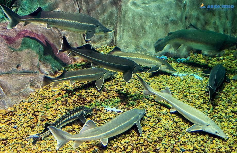 Описание рыбы стерляди. чем питается и как разводить?