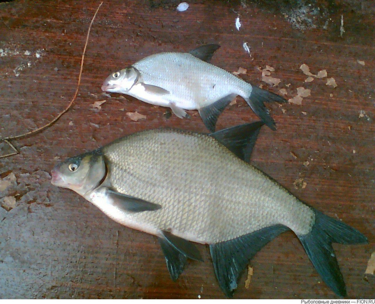 Подробное описание рыбы лещ