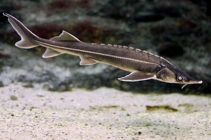 Осетровые виды рыб: описание и фото