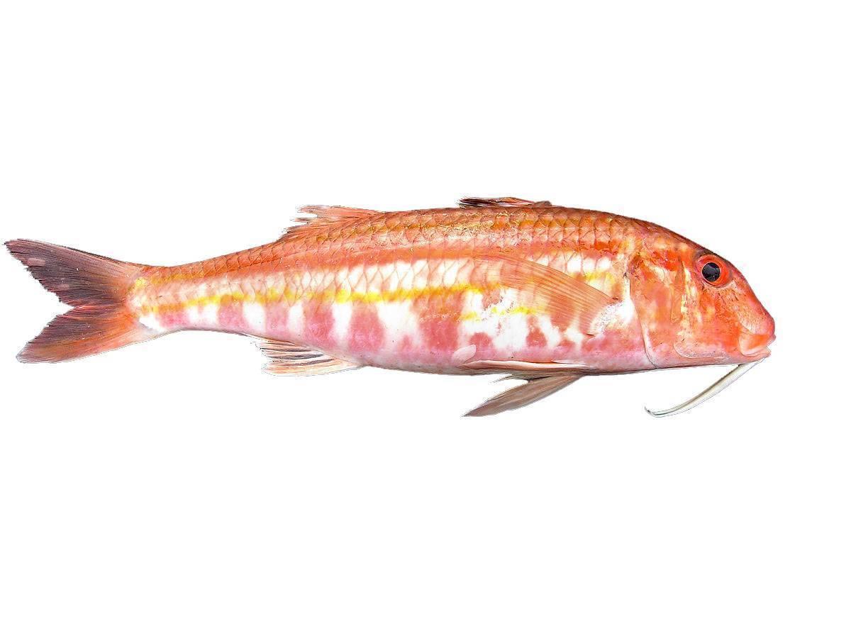 Барабулька - морская рыба, описание и фото
