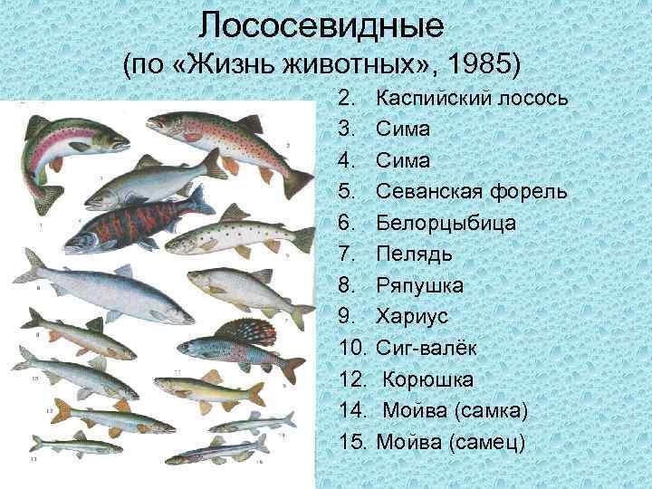 Рыба семга – где водится в россии salmo salar и форель, нерест, как ловить