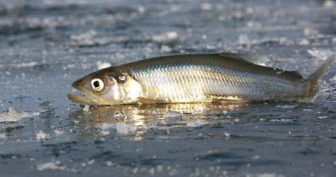 Корюшка -все про эту рыбу