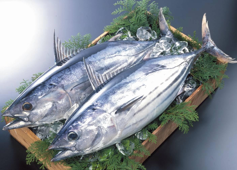 Пеламида: что за рыба, образ жизни и описание вида с фото