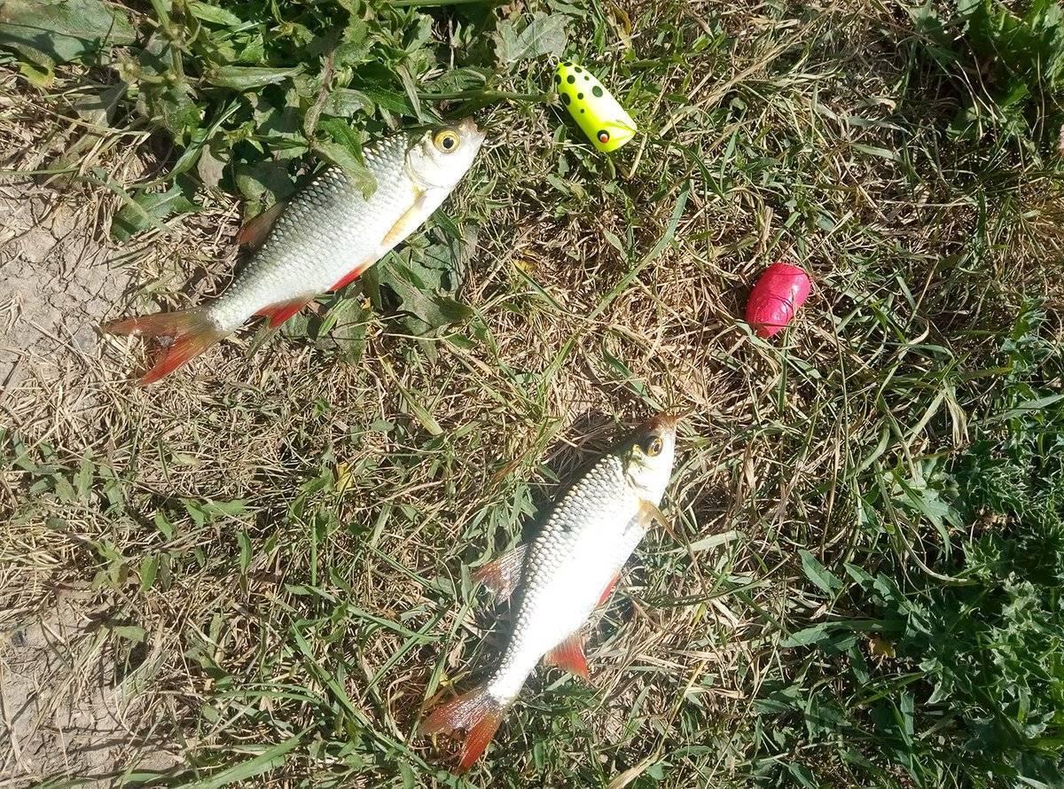 Ловля краснопёрки | как ловить краснопёрку - рыбколов!