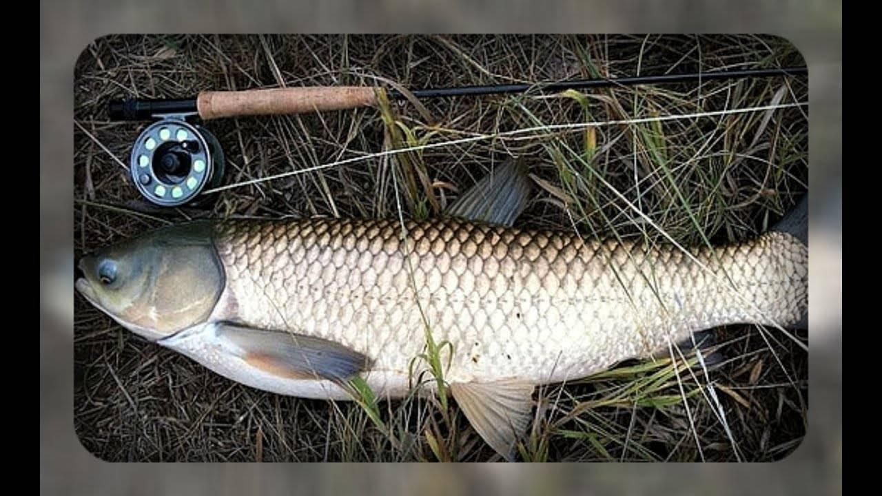 Белый амур: на что ловить, снасть, места и техника