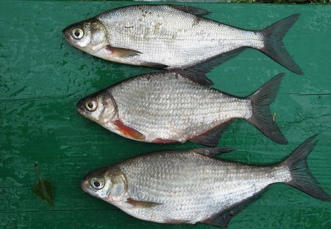 Густера и подлещик — отличия и особенности рыб
