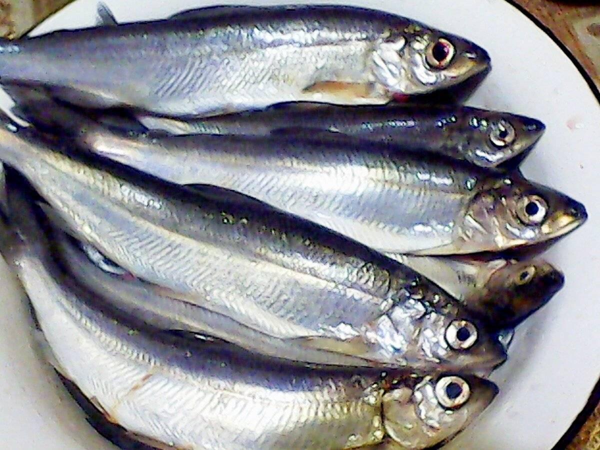 Рыба рипус: особенности, образ жизни, рыбалка и разведение