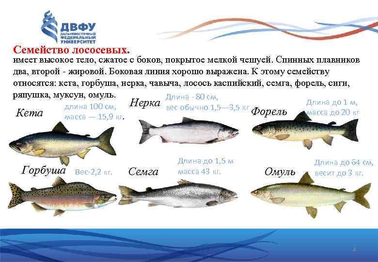 Рыба лосось: виды, как выглядят и где обитают представители лососевого семейства