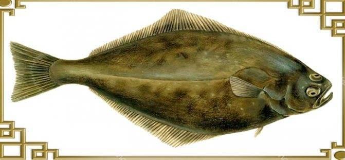 Рыба палтус: описание, фото, польза и вред | zaslonovgrad.ru