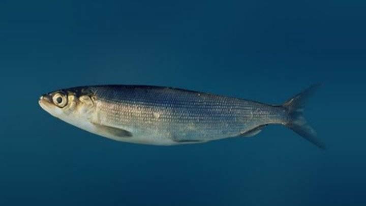 Омуль арктический — северная рыба