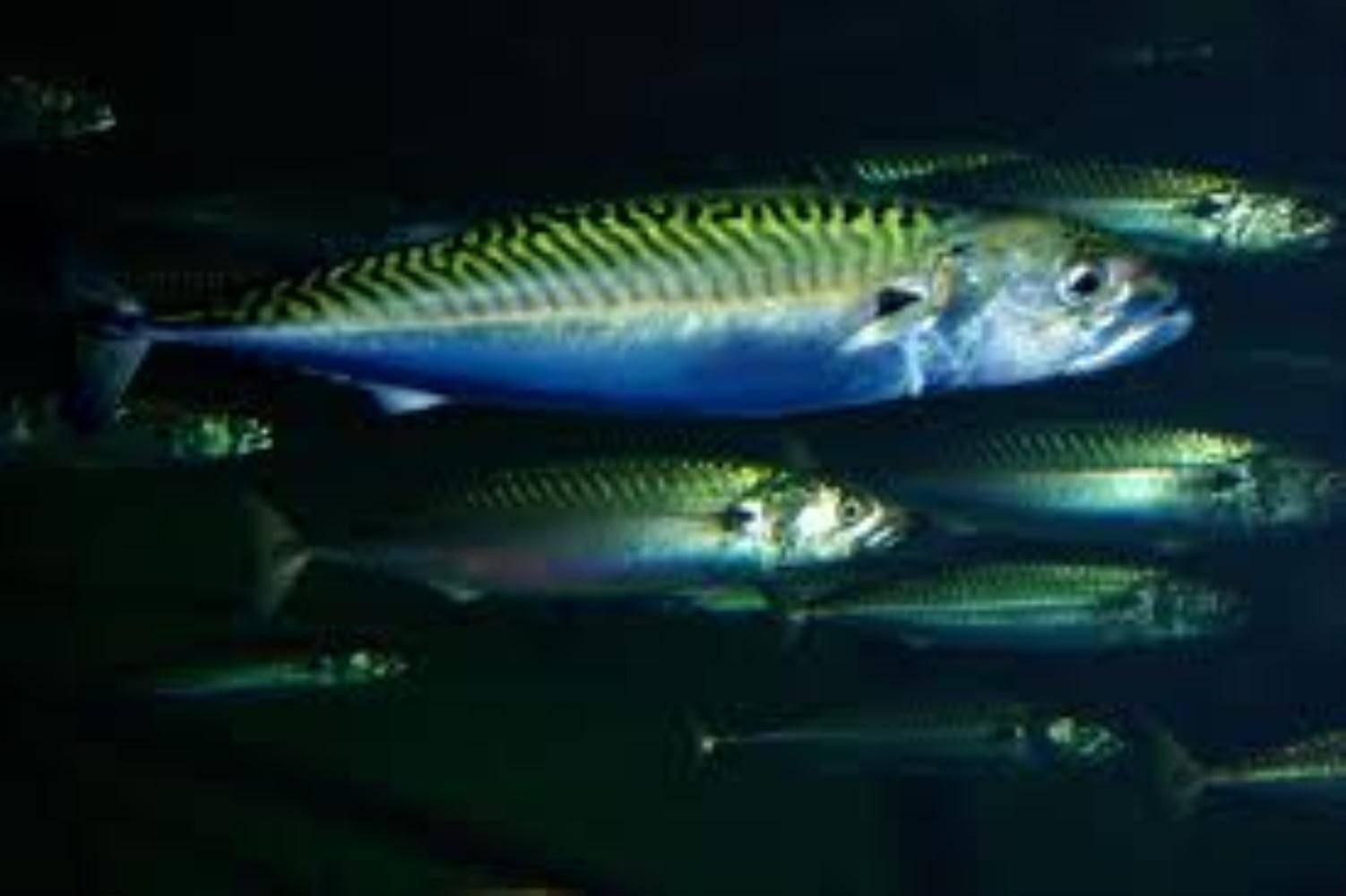 Рыба скумбрия - калорийность, польза, вред, где обитает