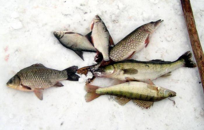Ловля на косынку зимой — особенности и тактика