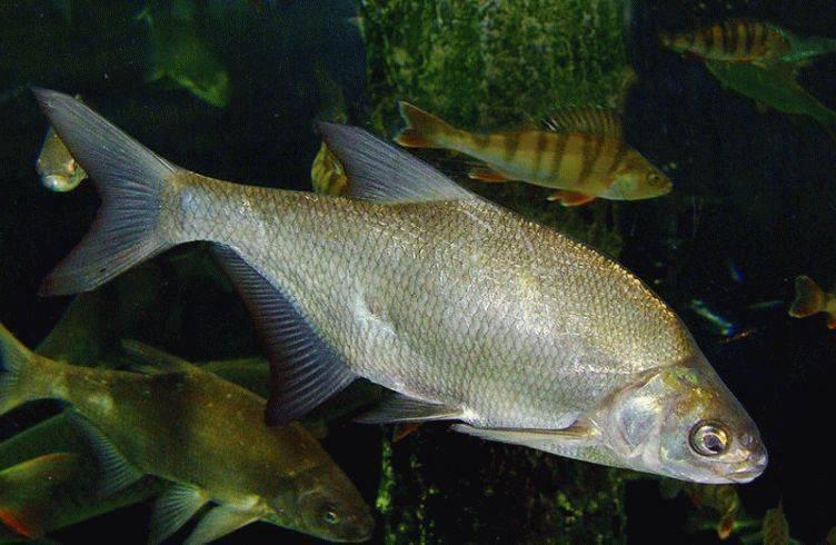 Плотва (рыба). фото и описание. видео   все о плотве