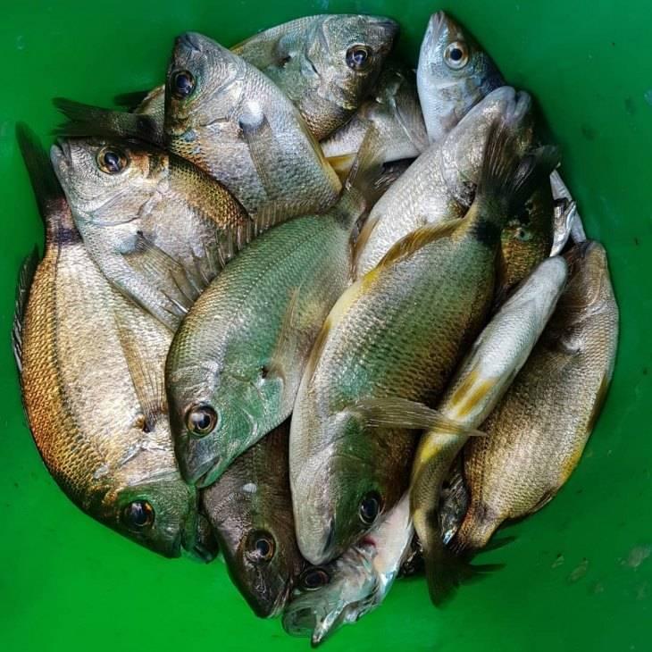 Рыба «Горбыль светлый» фото и описание