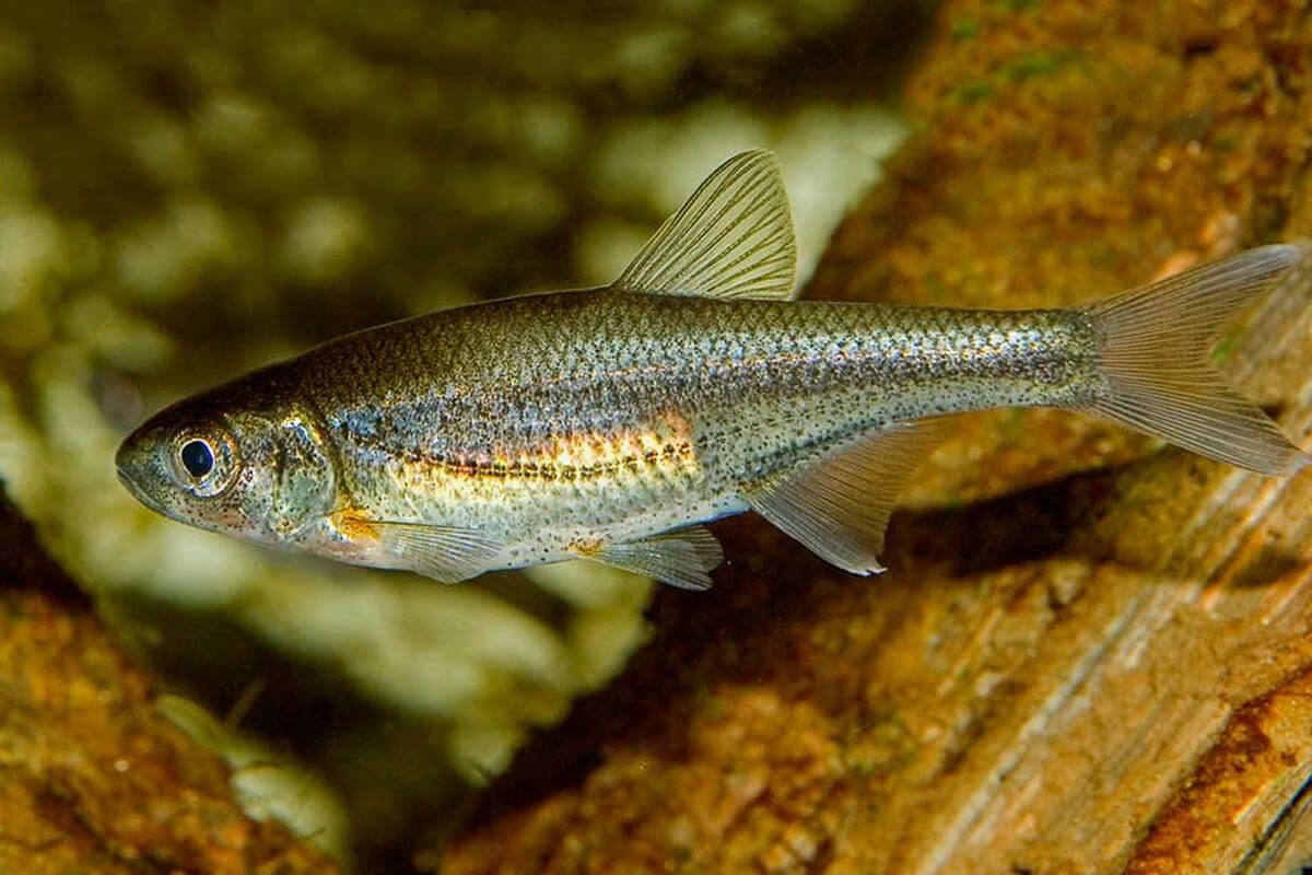 Рыба «Быстрянка» фото и описание