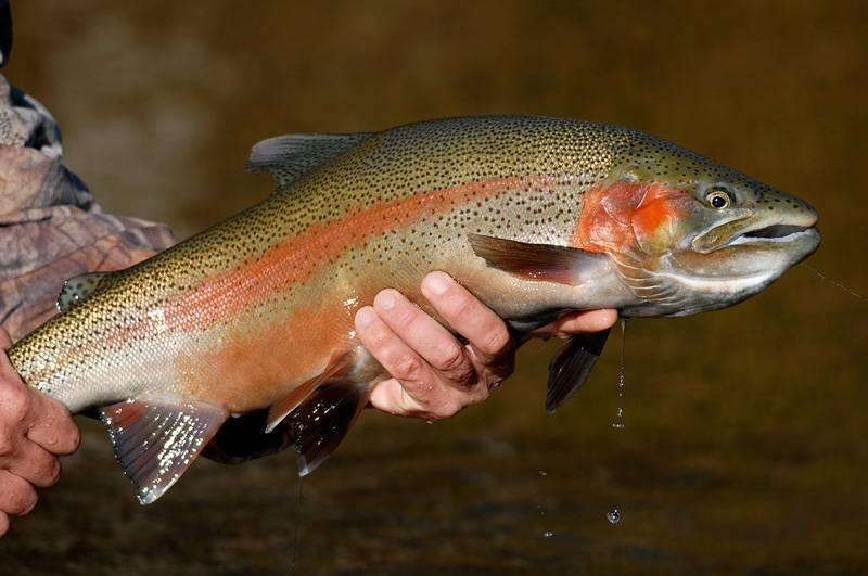 Форель: где водится, это морская или речная рыба, разновидности