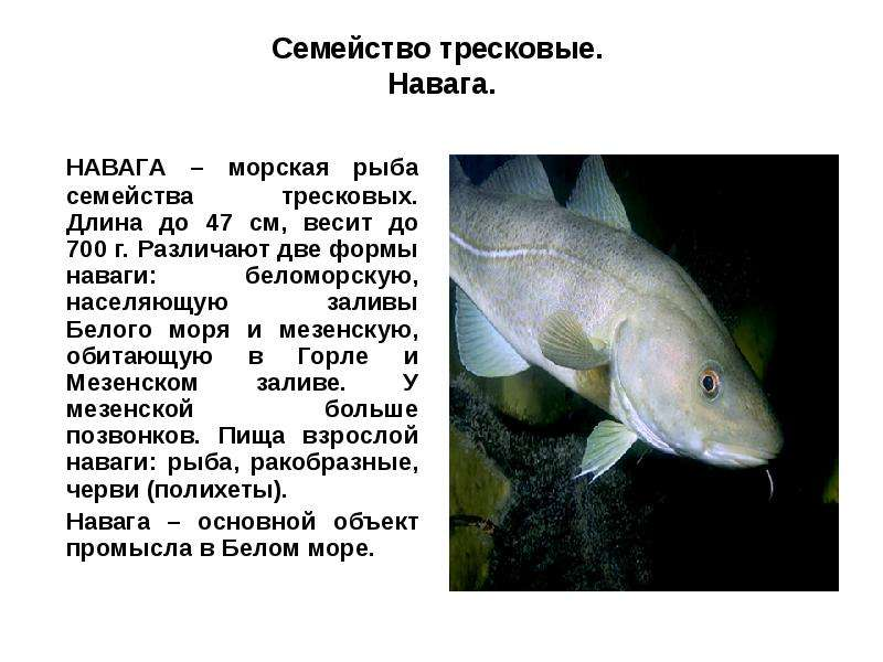 Тресковые породы рыб список - про рыбалку