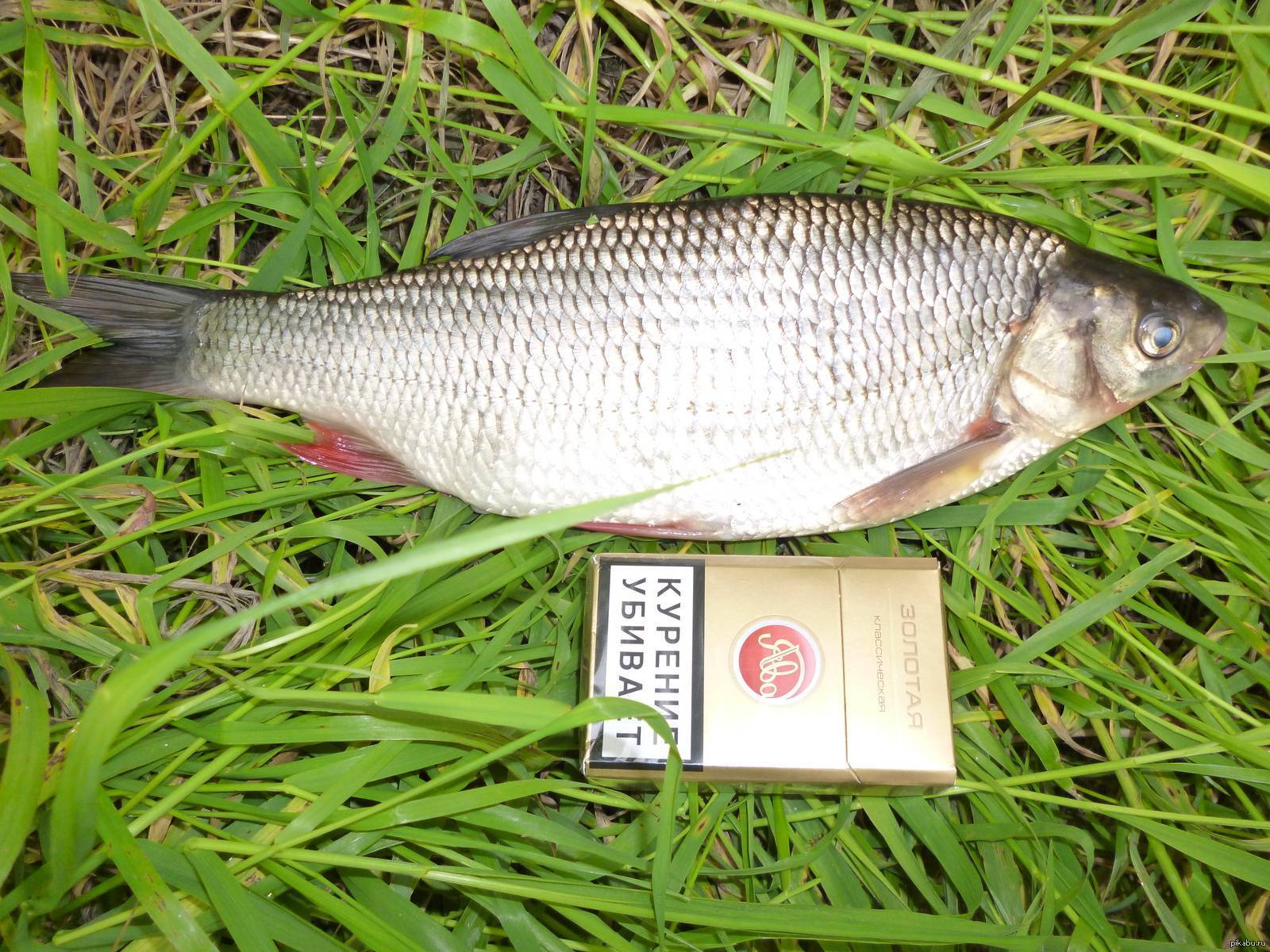 Рыба язь: как выглядит и чем питается, подъязок