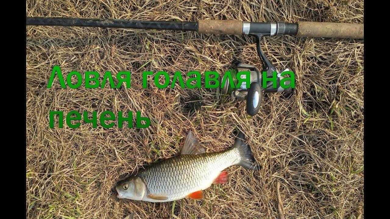 ✅ ловля на куриную печень - уголок-рыбака.рф
