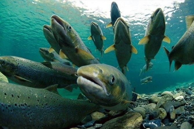Форель: описание и разновидности вида с фото