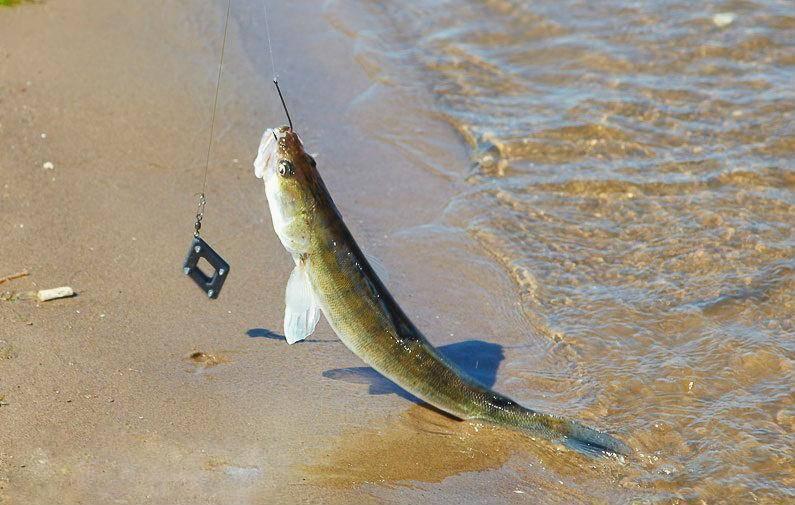 Ловля судака на живца с берега: варианты оснастки и выбор малька, лов осенью и летом. как поймать судака?