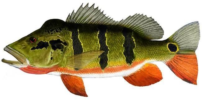 Рыба «Павлиний окунь гигантский» фото и описание