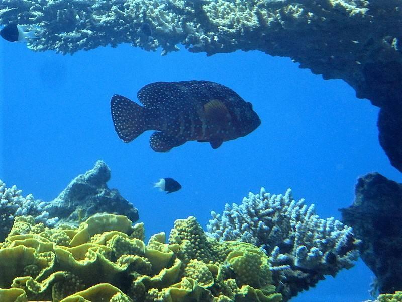Каменный окунь групер (grouper): виды рыб и условия обитания