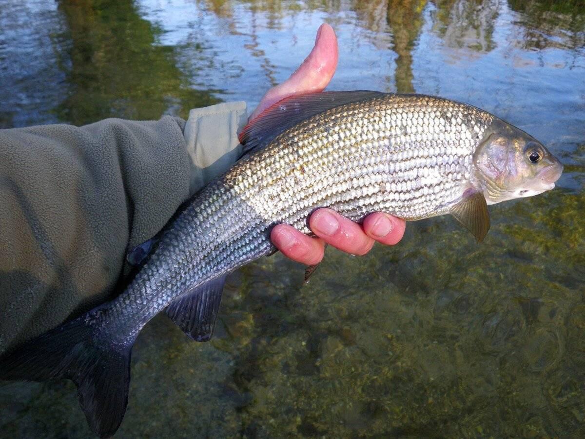 Как заядлые рыбаки ловят хариуса зимой: где искать и на что ловить хищника? - читайте на сatcher.fish