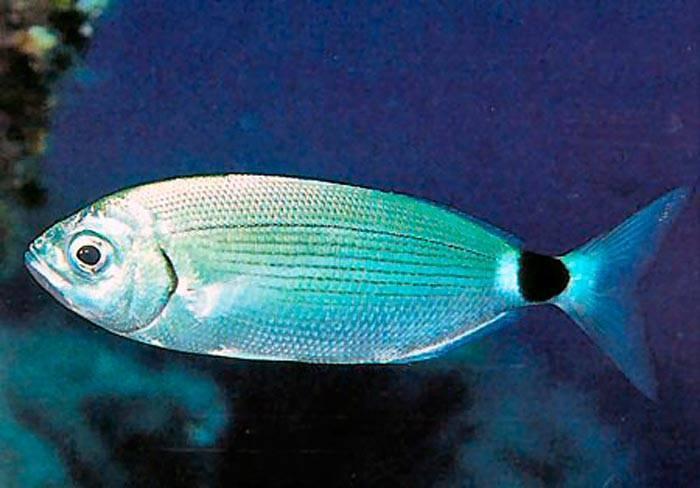 Рыба сарган: зелёные кости, длинное рыло и острые зубыми
