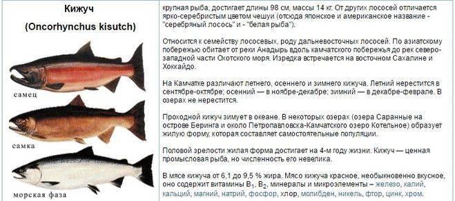 Лосось (кижуч): польза или вред?