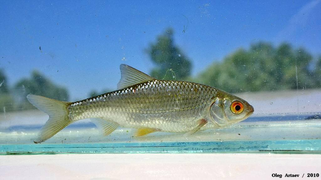 Быстрянка - читайте на сatcher.fish