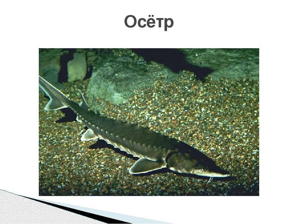 Осетр