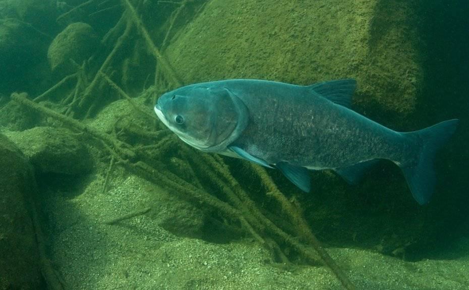 Что за рыба толстолобик: где водится, как выглядит и чем питается, польза и вред при употреблении в пищу