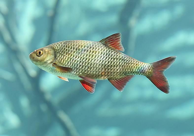 Плотва (рыба). фото и описание. видео | все о плотве