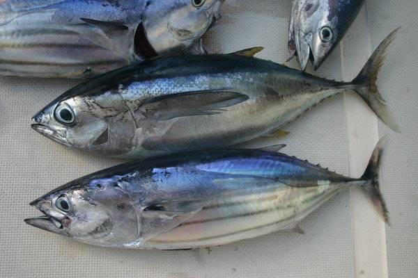 Пеламида (рыба) - вики