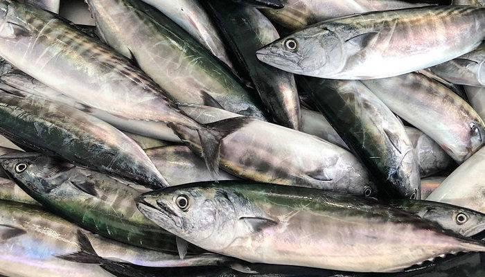 Пеламида рыба. образ жизни и среда обитания рыбы пеламиды