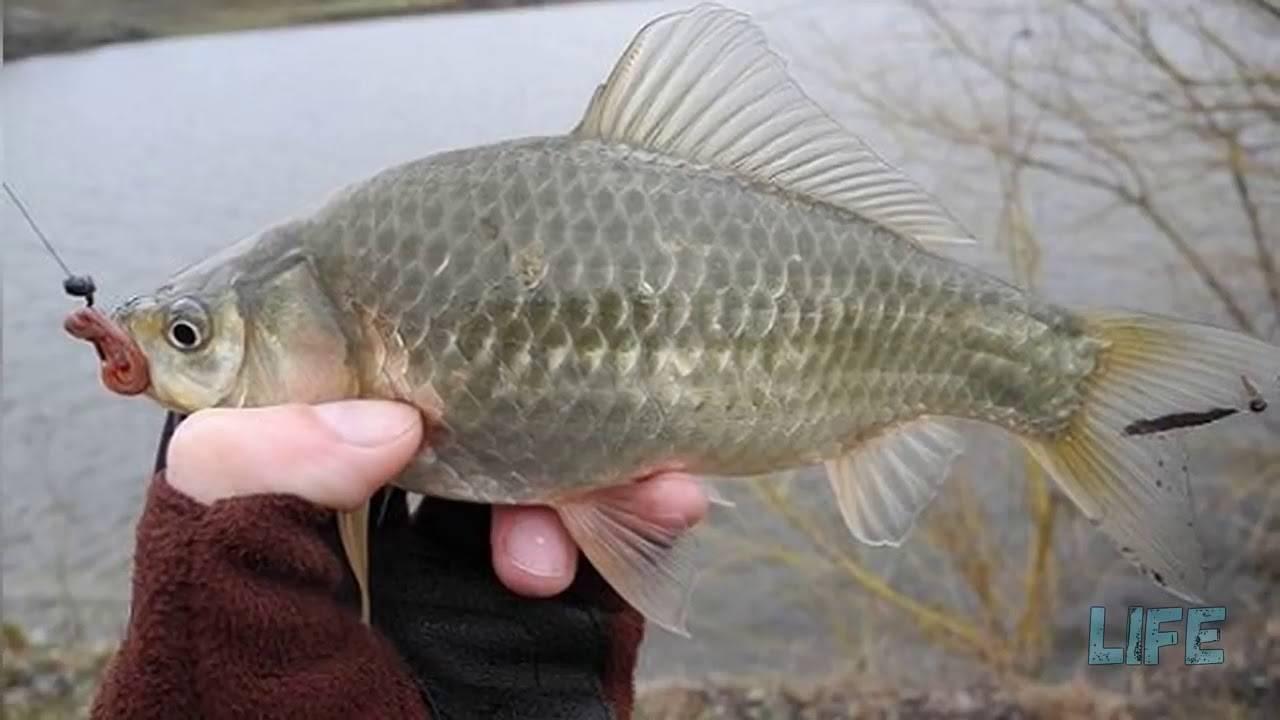 Ловля карася весной на поплавочную удочку: снасти, рыбалка в марте, апреле и мае