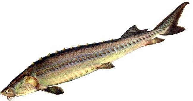 Осетровые рыбы — породы семейства