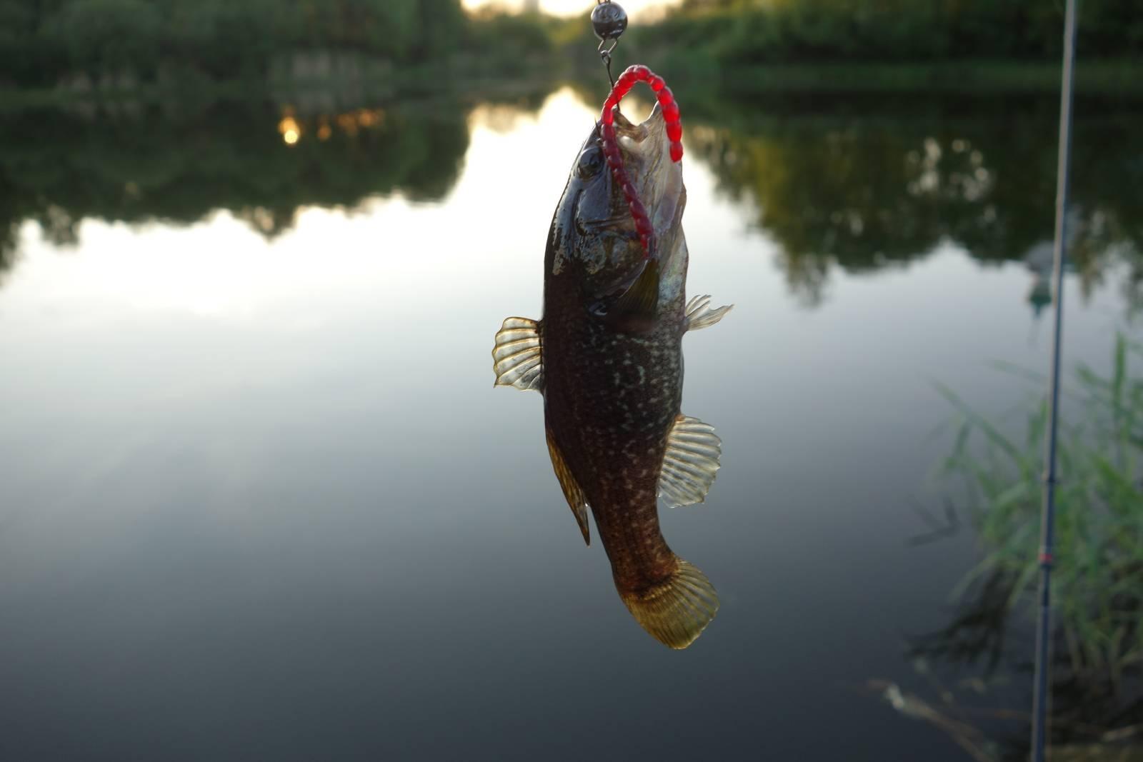 Ловля ротана на спиннинг весной, летом и осенью + зимняя рыбалка