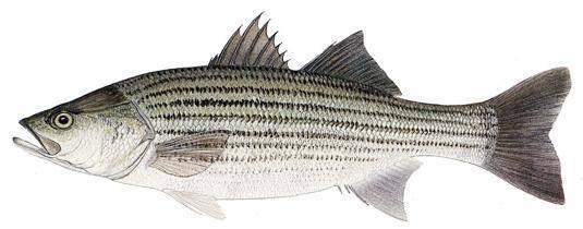 Как готовить морскую рыбу чилийский сибас или лаврак, чем она полезна