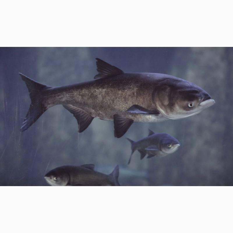 Рыба толстолобик: как выглядит, где обитает, фото | клёвая рыбалка