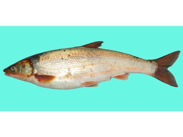 Чешуйчатка обыкновенная (pholiota squarrosa) фото и описание